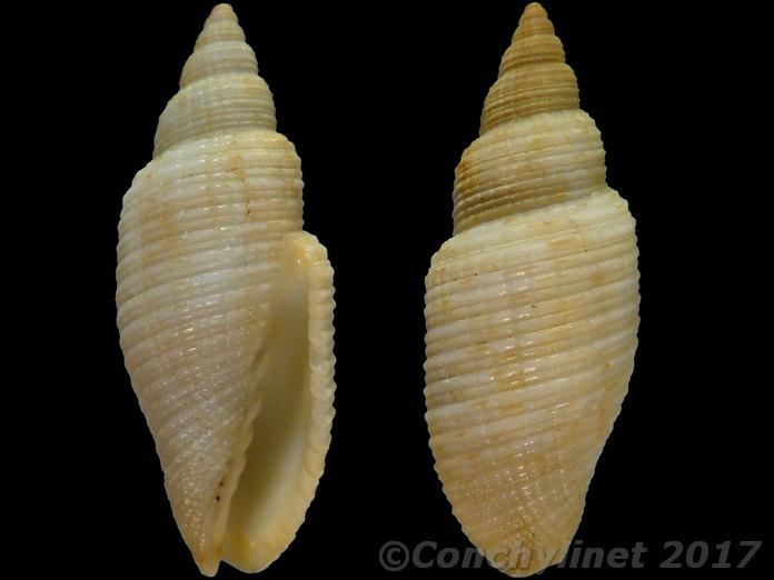 Mitridae - Cancilla granatina  ou pas ? de Maurice 14632