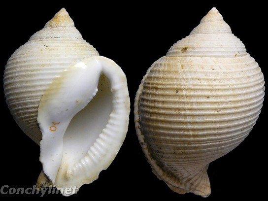 Galeodea rugosa - (Linnaeus, 1771) 2