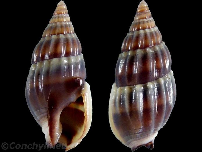 Nassariidae_a_identifier_Nassarius_Aciculina_vittatus_(Adams_1853) 8883