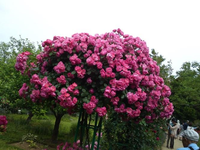 Đăng tin rao vặt: Hãy trồng một cây hồng thân gỗ trong khuôn viên nhà! Tree_rose_1