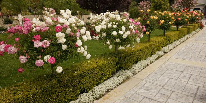 Đăng tin rao vặt: Hãy trồng một cây hồng thân gỗ trong khuôn viên nhà! Tree_rose_3