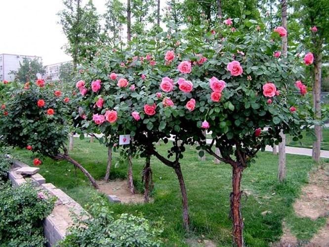 Đăng tin rao vặt: Hãy trồng một cây hồng thân gỗ trong khuôn viên nhà! Hoa-hong-tree-rose