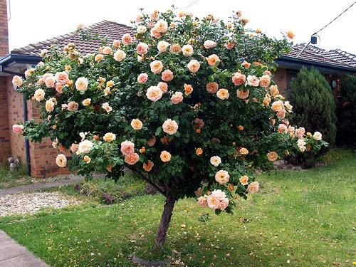 Đăng tin rao vặt: Hãy trồng một cây hồng thân gỗ trong khuôn viên nhà! Tree-rose-2