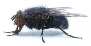 Chasser les mouches : 10 astuces naturelles Mouche-domestique-300x152