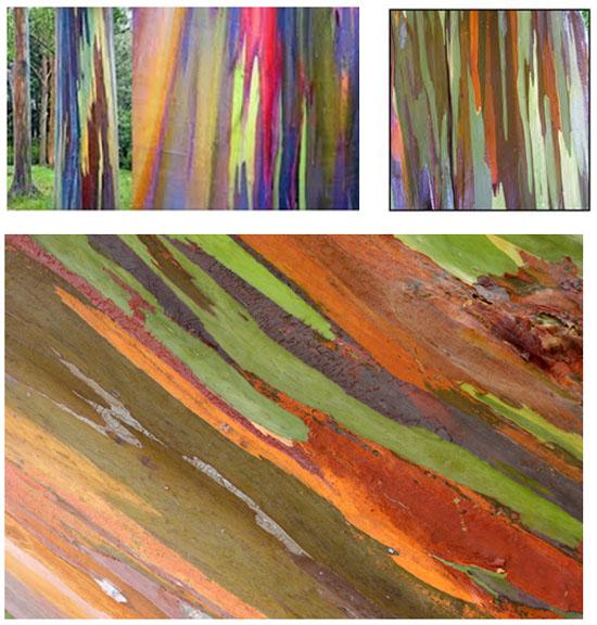 l'insolite de blucat (29juillet) trouvé par ajonc  Eucalyptus-arc-en-ciel-arbre
