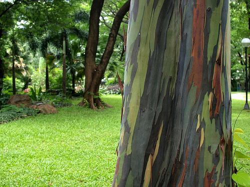 l'insolite de blucat (29juillet) trouvé par ajonc  Eucalyptus-rainbow