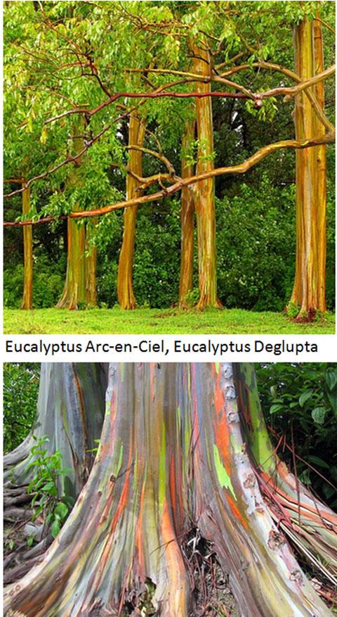 l'insolite de blucat (29juillet) trouvé par ajonc  Eucalyptys-arc-en-ciel-2