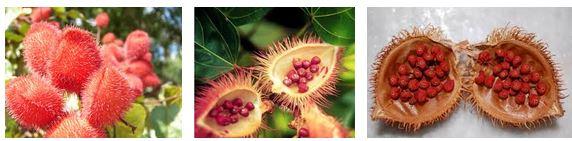 L'urucum, la plante qui illumine votre peau Urucum