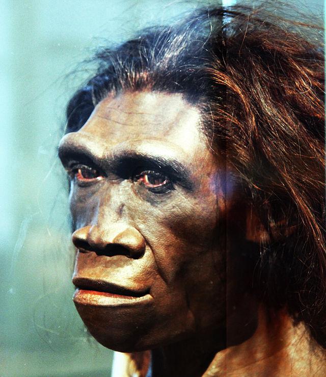 Du côté de nos ancêtres ça se complique ! Homo_erectus_adult_female_-_head_model_-_smithsonian_museum_of_natural_history_-_2012-05-17