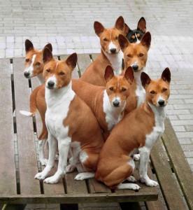 Mascotas - Página 2 Razas-de-perroA-276x300