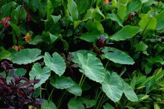 VƯỜN CÂY HOA ĐV I - Page 11 Colocasia-esculenta-var-antiquorum02