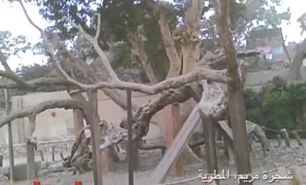شجرة مريم بالمطرية Img4C2