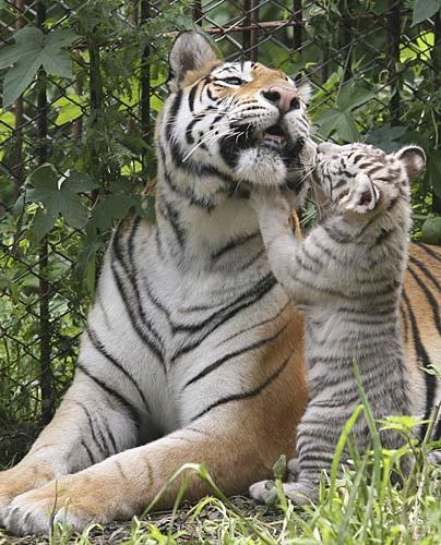 Foto nga bota e kafsheve dhe zogjve  - Faqe 2 TIGRE_big