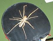 Che schifo! Il ragno cammello!!! Camel-spider--180x140