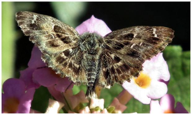 le papillon de Martin du 10 février trouvé par Gin-to Grisette-4
