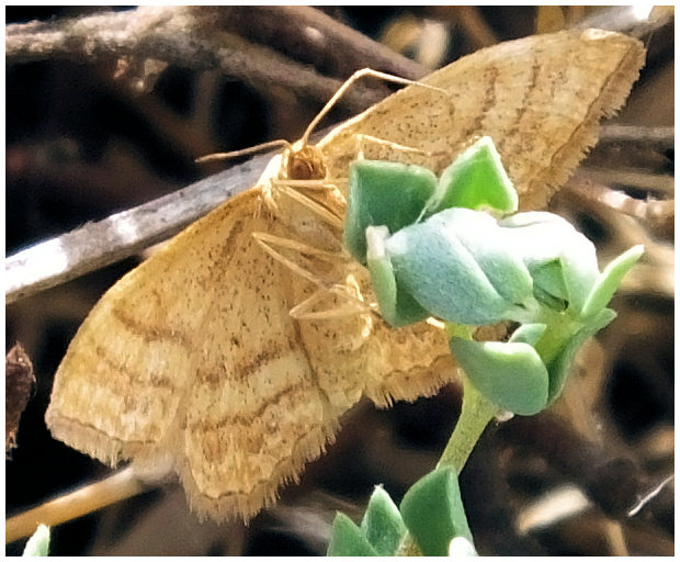 Le monde merveilleux des insectes - Page 2 Idaea-ochrata
