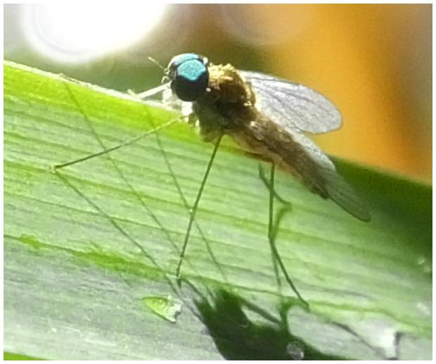 petite mouche aux yeux verts Mouche-yeux-verts-2
