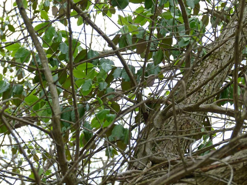 identification d'un arbre à partir de ses feuilles et fruits Winter%2BCreeper%2Bin%2BTree