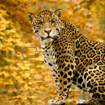 Jaguar 457364-xs