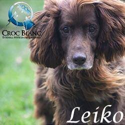 LEIKO - x setter 9 ans (3 ans de refuge)   - Asso Croc Blanc (69) Leiko_250x250