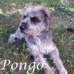 PONGO - griffon 3 ans - en FA pour Asso Croc Blanc (69) Pongo2_250x250_1