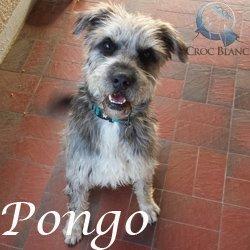 PONGO - griffon 3 ans - en FA pour Asso Croc Blanc (69) Pongo_250x250_3