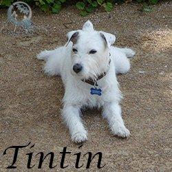 TINTIN - parson russel terrier 11 ans - Asso Croc Blanc (69) Tintin_250x250_1