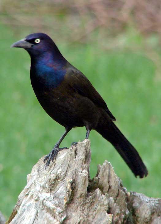 oiseau n° 2 - ajonc - 7 avril trouvé par Martine Quiscale12-4-2010