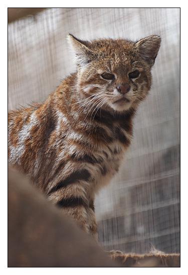Gato de la Pampa (Leopardus pajeros) Pict8820