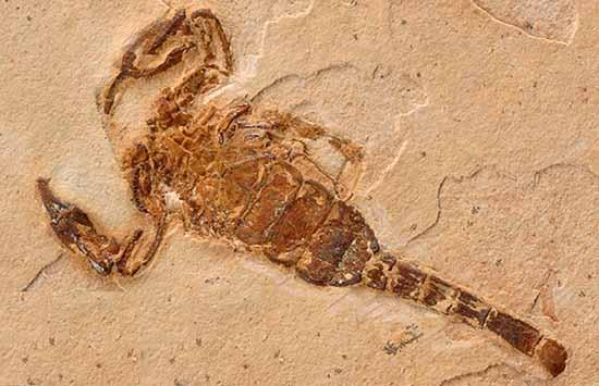 Fosili - Page 5 Fossil-scorpion