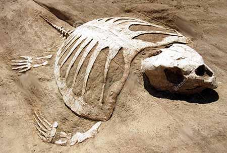 Fosili - Page 7 Fossil.turtle2