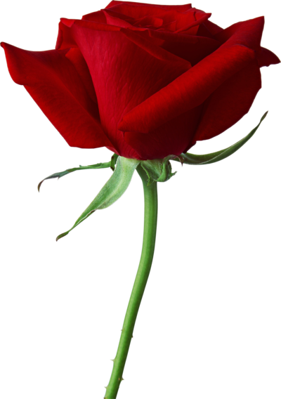 8 Mart - dan zena... - Page 15 Csm_rose_PNG639_5ea144c797