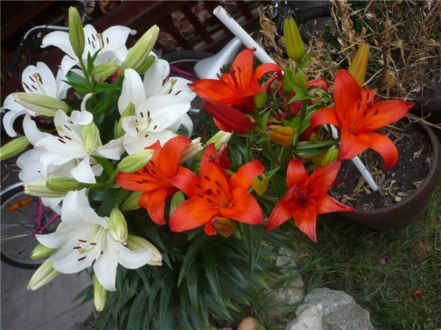 Cveće slike - Page 3 6a323e97-P1040044