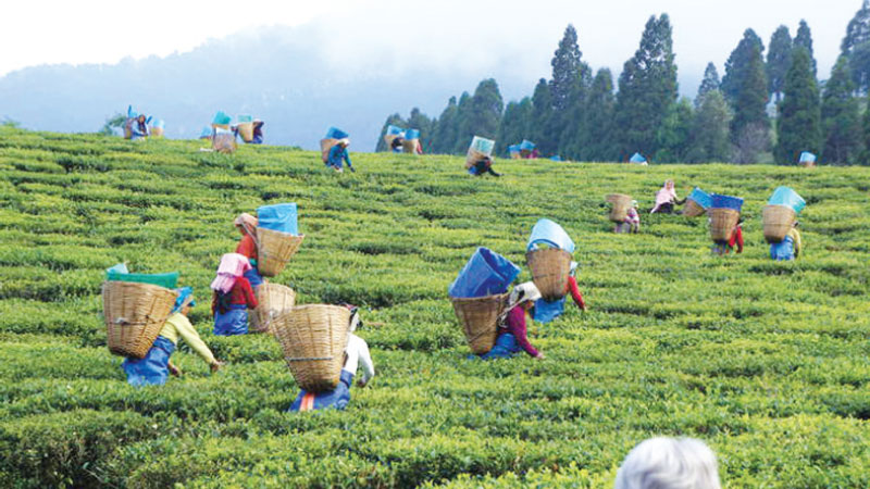 Tea industry's performance in 2018 and prospects for 2019 Z_Bus-pi-Lanka