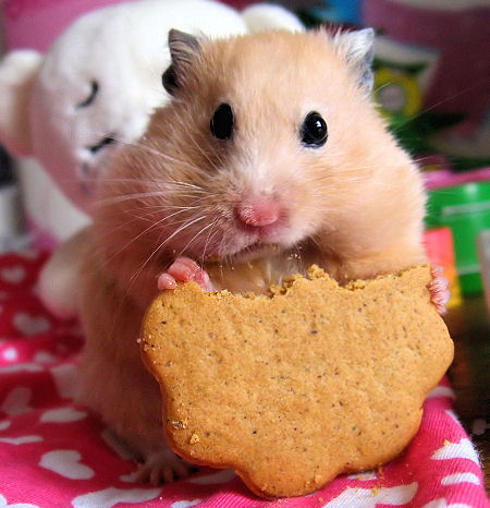 Hrčci - hrčak Hamster1