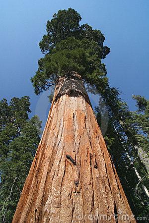 أطول شجرة في العالم Tallest-tree-in-the-world-3