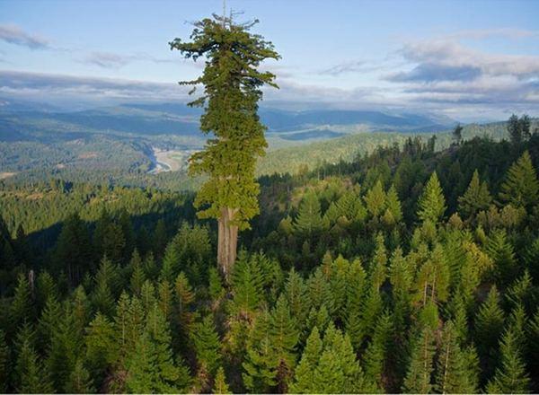 أطول شجرة في العالم Tallest-tree1