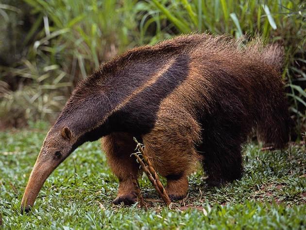 آكل النمل,,, Anteater1