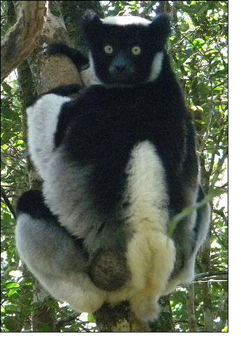 l'animal de Martin du 3 juillet trouvé par Snoopie Indri-of-madagascar