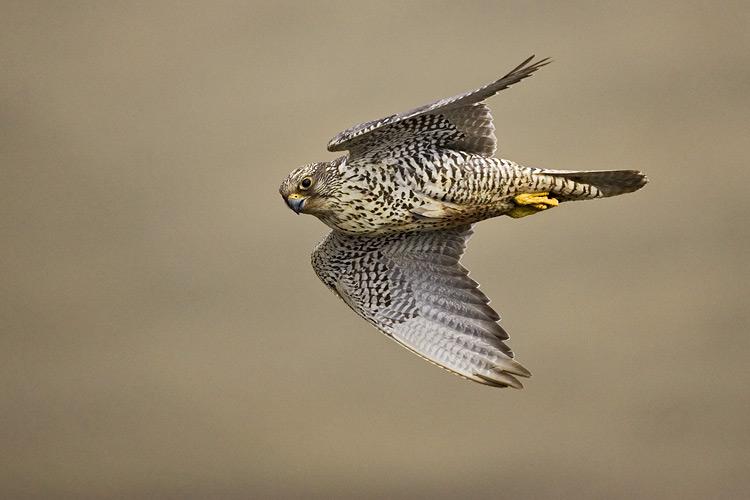 Falconiformes. sub Falconidae - sub fam Falconinae - gênero Falco - Página 3 Gyr02