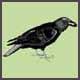 SAL BlackBird
