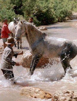 Konji Nassim_being_washed