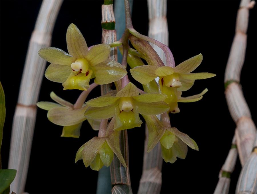 Dendrobium epidendropsis Epidendropsis1