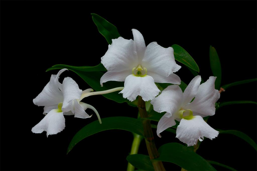 Dendrobium sanderae var. luzonica Sanderae1