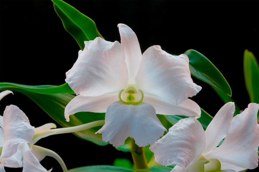 Dendrobium sanderae var. luzonica Sanderae2