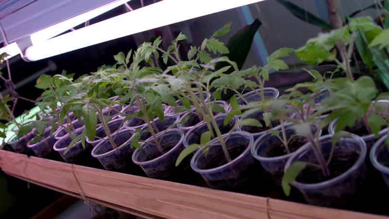 Tomates et compagnie, en folie Semis2