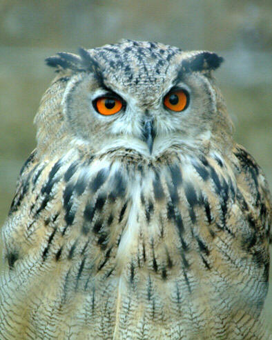 Sove Owl