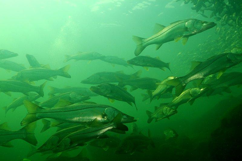 La Pesca del Róbalo (Centropomus sp.) por José Manuel López Pinto / Actualizado a 03 de Noviembre del 2013 22003_0201_103925aa_1_1