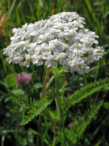 Achillea millefolium Achillea_millefolium