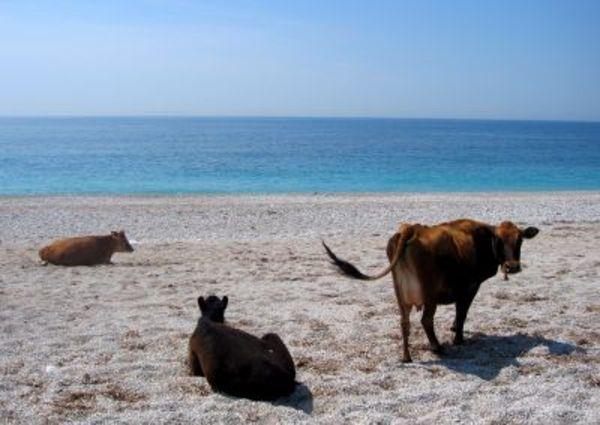 Krave i bikovi Sz5_albanija_krave_vreme_epa_images